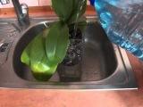 Полив орхидеи методом погружения Watering orchids dip