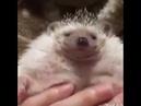 Fat Hedgehog Gets A Belly Rub