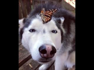 Бабочка и хаски