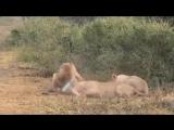 Львы-джедаи.