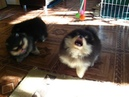 FOR SALE two pomeranian male one female litter 81 Play at home.