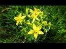 Зверобой Полезные лечебные свойства травы противопоказания рецепты народной медицины