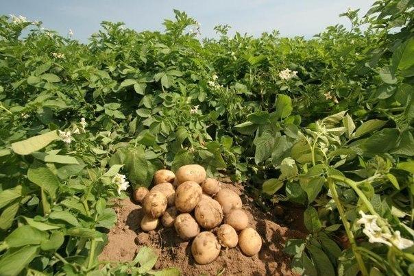 Девять советов по выращиванию картофеля.
