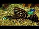 Аквариумный Сомик Анциструс Aquatic Somik Ancystrus