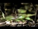 Паук-гладиатор охотится