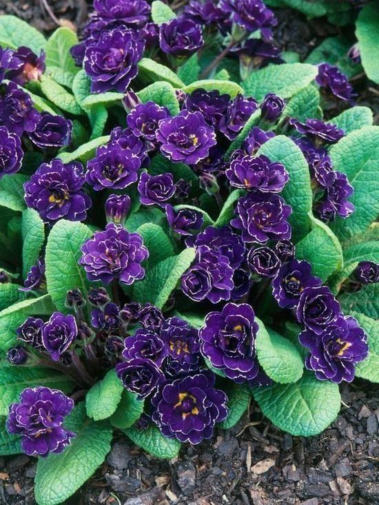 Примула - многолетнее растение для слабокислых влажных почв