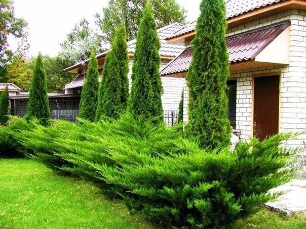Выращивание можжевельника дома 43