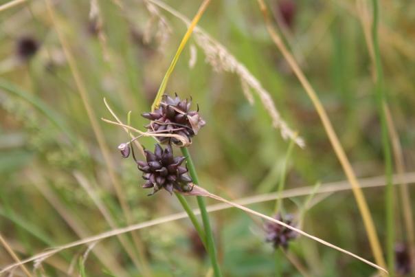 Полевой или дикий лук