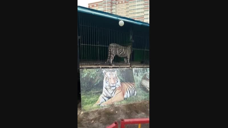 тигрицы