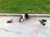 Триллер,черный кот некромант,засумонил двух ворон,и понеслась...