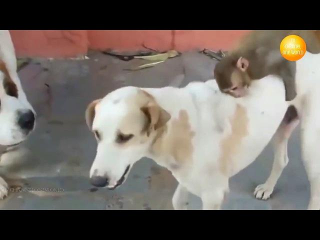 Cobalah tidak tertawa atau menyeringai Monyet lucu VS Anjing dan kompilasi Kucing
