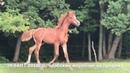 Продажа лошадей арабской породы конефермы Эквилайн, тел., WhatsApp 79883400208 ЭКВАНТ 2018г.р.