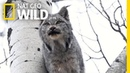 Two Lynx Cats Scream at Each Other—Can You Stand It Nat Geo Wild