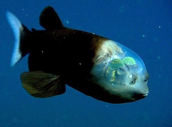 Macropinna microstoma - глубоководная рыба с прозрачной головой - одно из самых удивительных существ, проживающих в морских глубинах.