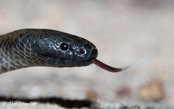 Черноватый скрытоглазый аспид (Rhinoplocephalus nigrescens)