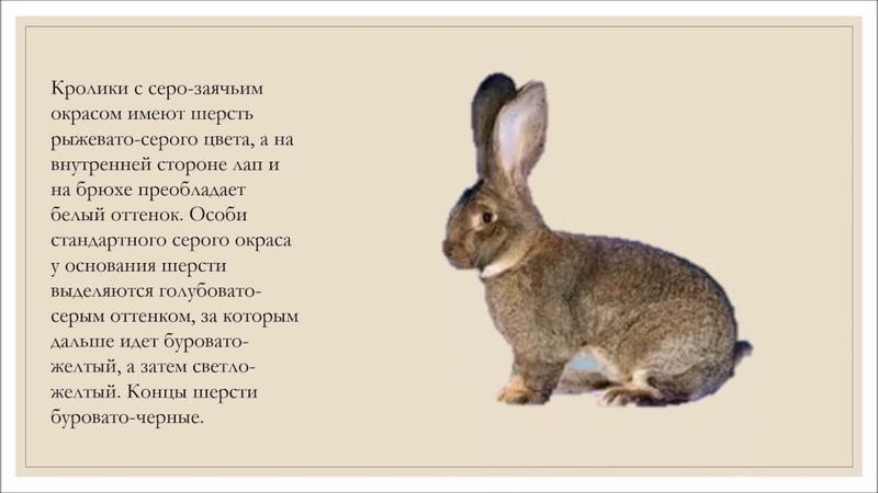 Кролики Великаны .Описание породы.