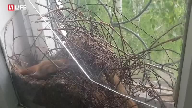 Белка с бельчатами свила гнездо в окне 720 X 1280 mp4