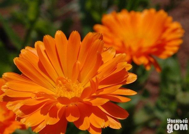 КАЛЕНДУЛА. Средство от гриппа и простуды. Многие дачные участки украшает яркая календула или ноготки. Но все ли знают, что ее ярко-оранжевые цветки не только могут радовать глаз, но и являются отличным лекарством от многих недугов. Например, из календулы можно приготовить эффективные средства от простуды и гриппа. Все, наверное, видели в аптеках настойку из этого чудесного растения. Ее можно использовать как наружно, в качестве антисептического средства, так и вовнутрь при заболеваниях…