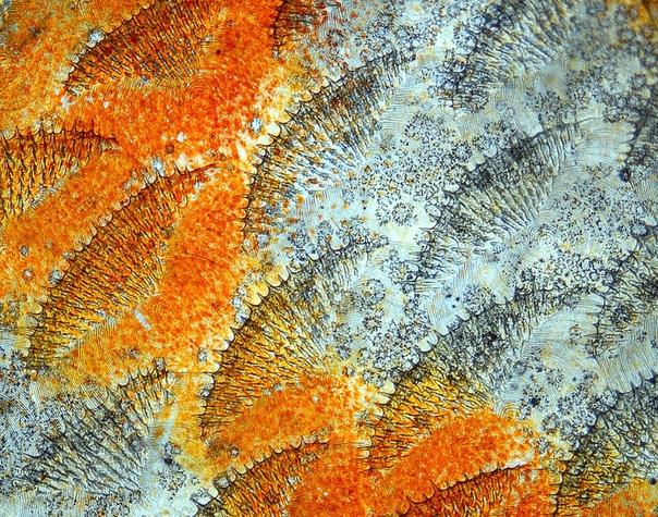 Рыбья чешуя под микроскопом, 20Х