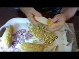 Свои семена кукурузы, как выращиваю и сохраняю.