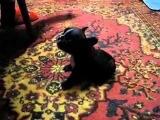 Самый злой и раздражительный Французский бульдог прикол с собакой!