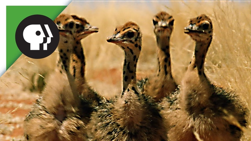 Baby Ostriches Hatching from Eggs