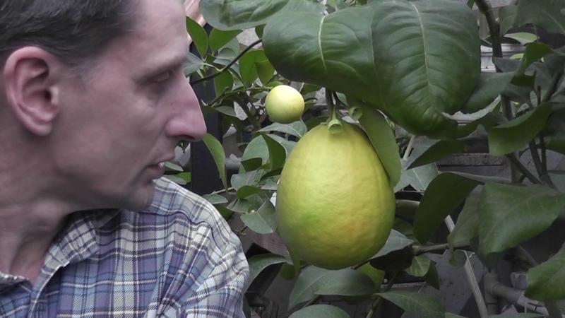 Citrus sp. Цитрус Крылья Таиланд