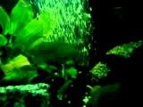 рыба нож в цыхлиднике
