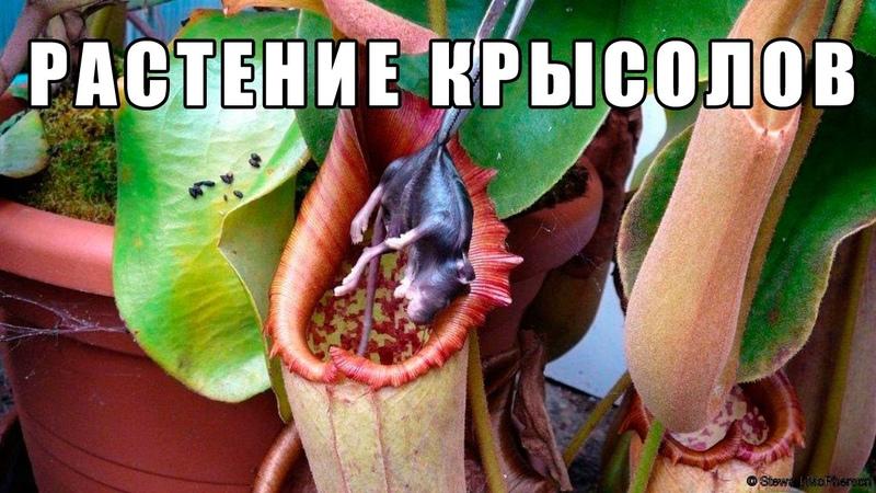 ПЛОТОЯДНОЕ РАСТЕНИЕ КРЫСОЛОВ! Непентес Аттенборо или Nepenthes Attenboroughii