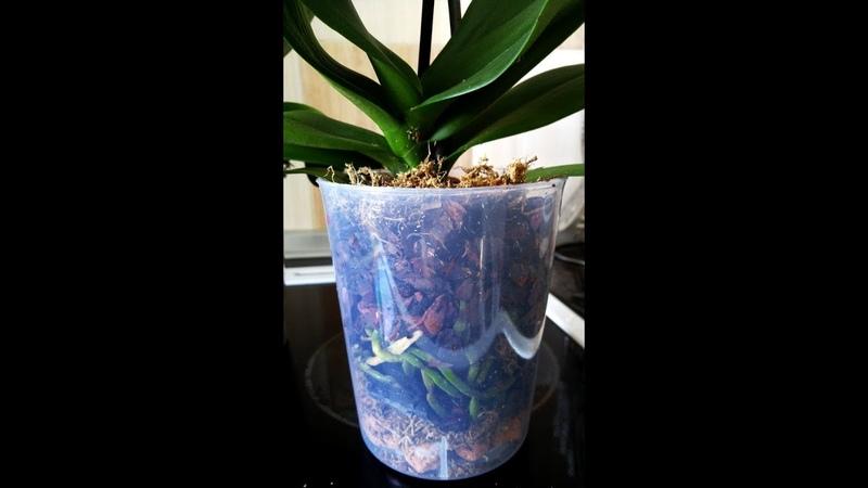 Пересадка купленной орхидеи после цветения
