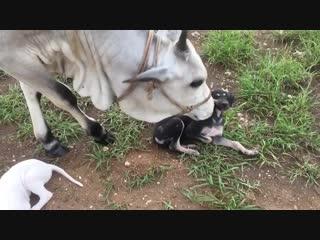 Идет коза ебанная за малыми щенятами