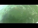 Морской окунь съел 1,5метровую акулу