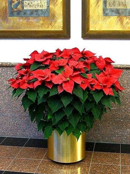 Цветок рождественское дерево