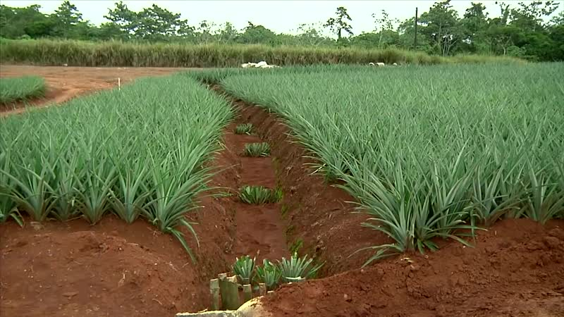 Как выращивают и собирают ананасы ¦ How is harvesting ananas