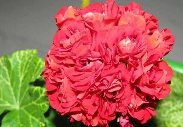 Красивые сорта пеларгоний для вашего подоконника 1. Айс Роуз.Этот сорт пеларгоний растет не очень быстро, но имеет красивые о просто огромные бутоны белого цвета, а внешне форма цветов