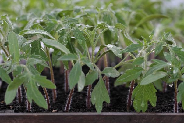 Чем полить рассаду томатов, чтобы была крепкой и лучше росла Сегодня приобрести специальные подкормки для любых огородных культур не является проблемой. Для томатов необходимы такие, которые