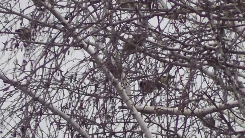 Щеглы в берёзовых ветвях