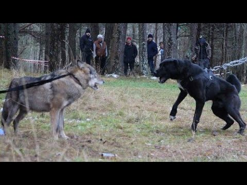 Alabai VS wolf (Nine tests)