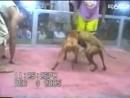 BCK j Godwin 1xw vs Thugline Kennel j Bushu