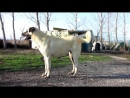 Kangal Turkish Kangal --BETO - PAŞA KIZI FULAS - HAYDUT KIZI HAYDO