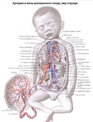 Схема кровообращения зародыша