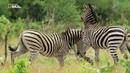 Nat Geo Wild Дикие места Африки Битва полов 1080р