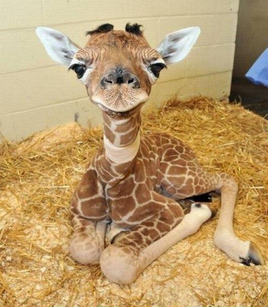 Детеныш жирафа.
