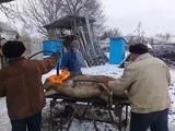 Porc de peste 200kg sacrificat in Moldova.