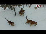 Амурские тигры из китайского зоопарка устроили охоту на дроны