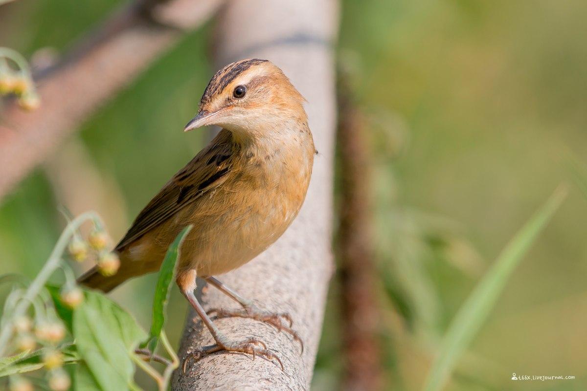 птицы Челябинска, Камышовка-барсучок