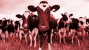 A Herd of Cows React to Doom Metal Riffs