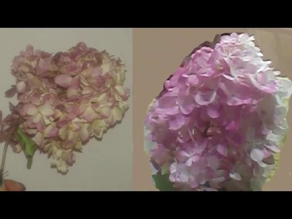 Гортензия, этапы цветения Красота в саду hydrangea