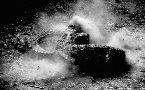 Схватка крокодилов