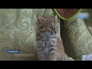 «Думали, что домашний»: В Приморье спасли краснокнижного лесного кота